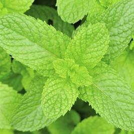 Mint, Plant Oil Crops
